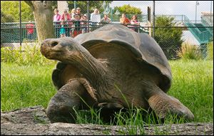 Visitors watch as Emerson, the Galapagos tortoise, explores his temporary exhibit at the Toledo Zoo.