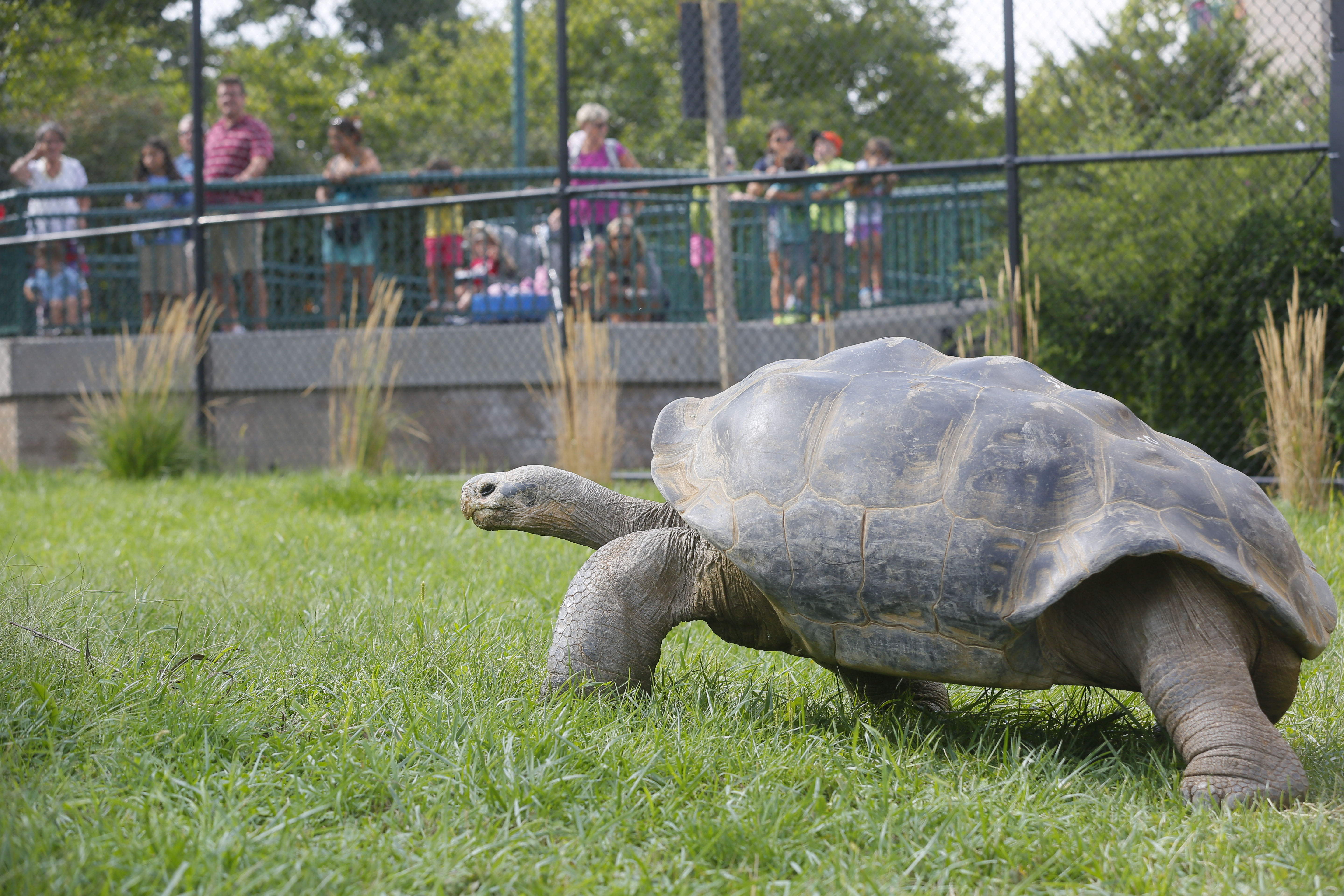 100 Year Old Gal 225 Pagos Tortoise Emerges From His Shed And