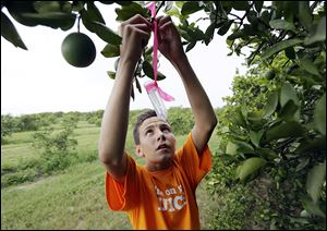 Nick Howell, 13, a member of the McLean family that owns Uncle Matt's organic orange juice company, places a vial containing the tamarixia wasp to release in their orange groves to battle greening.