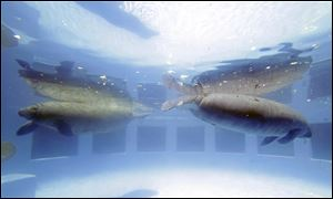 Manatees swim at the Miami Seaquarium in Key Biscayne, Fla. The U.S. Fish and Wildlife Service is reviewing whether the manatee should be reclassified as a '‍threatened' species, which would allow some flexibility for federal officials as the species recovers while keeping '‍endangered' protections.