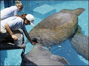 Miami Seaquarium caretaker Joelle Palmer, foreground, and intern Ally Levy feed the manatees. Biggest threats to manatees in the wild are boat propellers, cold water, and toxic algae blooms.