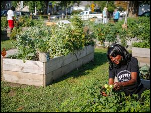 Christy L. Harris-Davis checks on tomatoes growing in a planting bed.