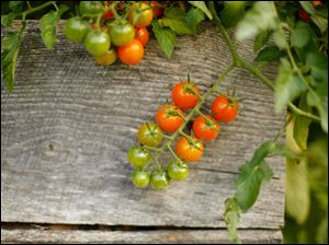 Cherry tomatoes spill out of a planting box.
