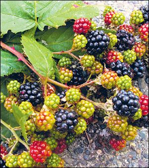 Wild blackberries are especially popular for adding beautiful colors and enriching flavors to blended drinks.