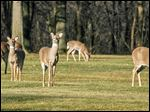 Concentrations of white-tailed deer result in over-browsing, which can wipe out desired food sources, and destroy ground-nesting birds' habitat.