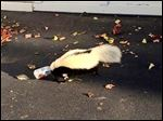 This photo taken Sunday, Sept. 14, 2014, in Oxford, Ohio, by police officer Matt Hatfield and provided by the Oxford police department, shows a skunk with it's head stuck in a beer can near a fraternity house at Miami (Ohio) University.