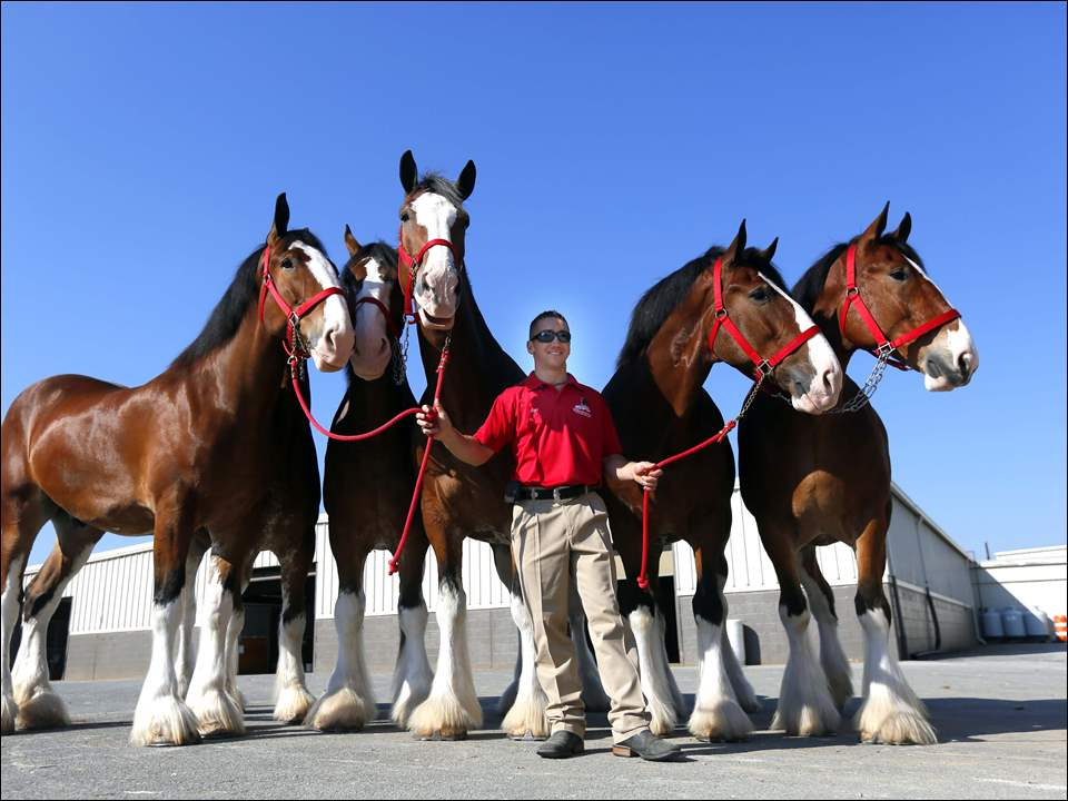 Randy Helmuth walks the Clydesdales.
