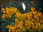 A great egret stands out amid fall foliage.