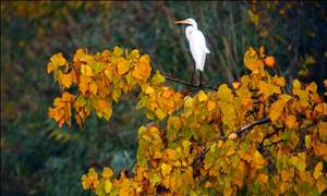GREAT-EGRET