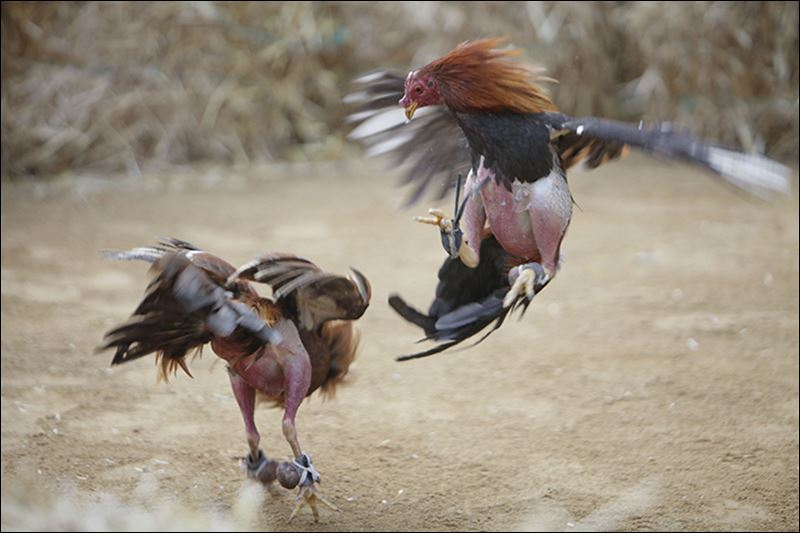 Cock Fighting Pictures 95