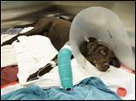 Moses, who was shot by a Woodville police officer, has to have his leg amputated.