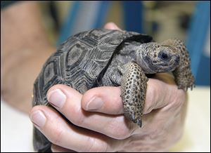 Three baby Galapagos tortoises arrived Nov. 4 at the Toledo Zoo from the Gladys Porter Zoo in Brownsville, Texas, where they were hatched. They are believed to all be females, but that won't be confirmed for years.