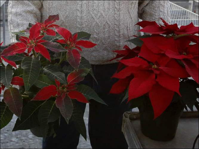 Dick Bostdorff holds a poinsettia that resembles a plant that was grown 25 years ago and in the right hand he is holding a the current form of a poinsettia.