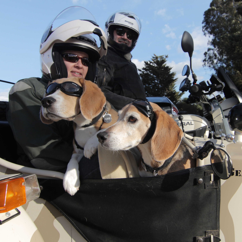 Slobbery sidekicks: Dogs ride in bikers' sidecars - The Blade