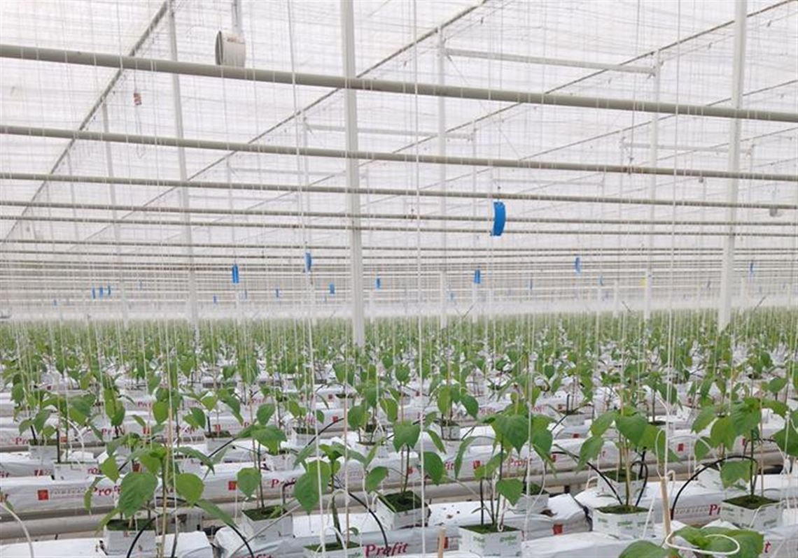 Ontario-based grower plans 175-acre greenhouse in Delta