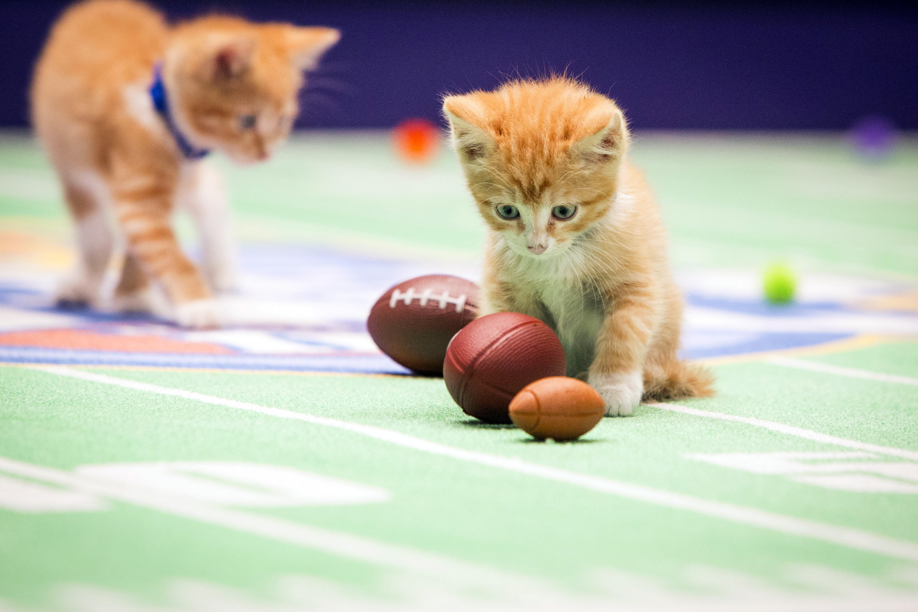 The claws e out when felines take the field in Kitten Bowl II