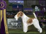 Leslie Adams painted Sky, the wire fox terrier that won best in show at the 2014 Westminster Kennel Club Show, for this year's poster contest.