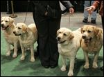Four Labrador retrievers line up for a photograph with their handlers before entering the ring for competition at the Westminster Kennel Club dog show at Madison Square Garden in New York in February, 2007.