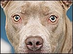 A male 'pit bull'
