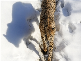 ROV cheetahA cheetah walks a trail at