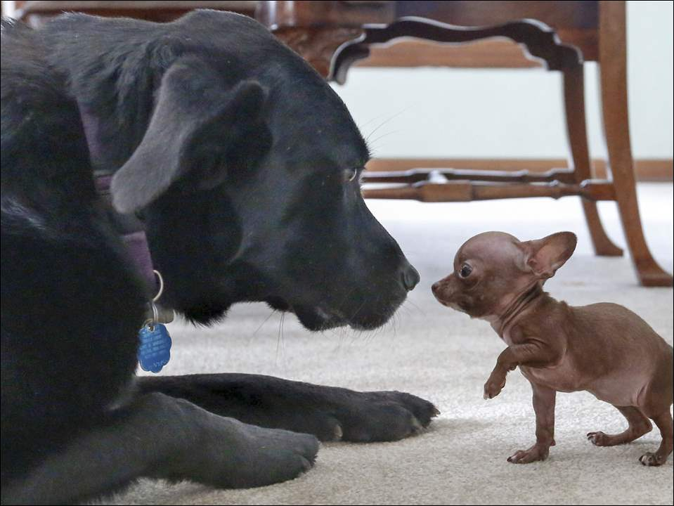 Harlow, a teeny Chihuahua puppy who was rescued by Animal House Rescue, sniffs noses with Paisley, the Billstein family dog, at Harlow's foster home  on March 11, 2015. Harlow has a number of medical problems, including hydrocephalus.