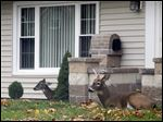 A doe and buck appear to be right at home in a yard on Ford Street in Maumee. Side Cut Metropark is nearby.