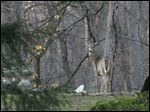 A deer stands in the backyard of a home near the corner of Woodhill and Forestvale roads in Ottawa Hills.