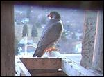One of the two peregrine falcons in Bowling Green is shown on Falcon Cam.