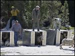 Female Sierra Nevada bighorn sheep are released into the backcountry of Yosemite National Park, Calif. on March 26.