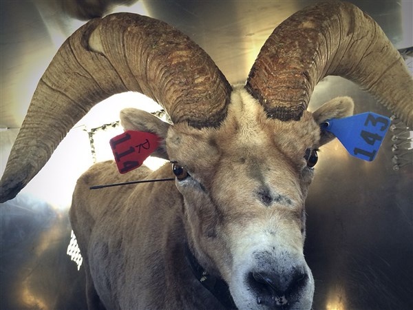 Endangered Bighorn Sheep Moved To Yosemite Sequoia Parks The Blade
