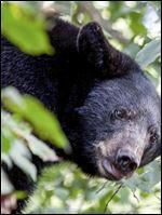 Ohio black bear