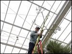 Matthaei Botanical Gardens seasonal horticulturalist Chad Machinski holds the top of an 80-year-old, 20-plus-foot-tall America agave plant as it is cut down in Ann Arbor, Mich.