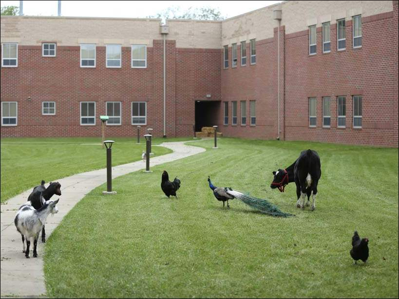 Animals, including a cow, goats, a peacock, and chickens, wander in the courtyard at Start High School.  The animals are reportedly from a farm owned by a student's family.