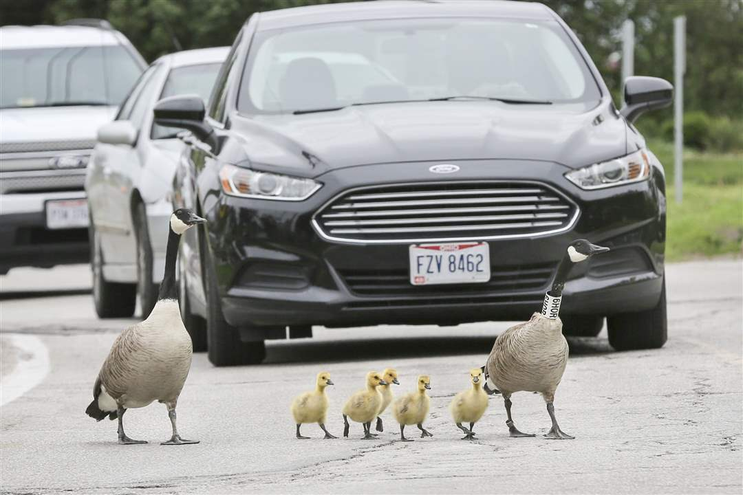 geese-cross-roadTraffic-stops-as-a-fam