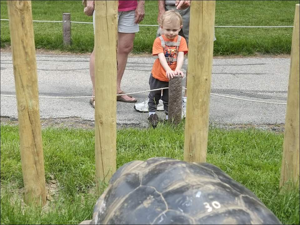 Lori and Jeff Townsend, Port Clinton, introduce their grandson Sam Nuhfer, 2, Maumee, to Emerson after the 450-pound galapagos tortoise was moved to his outdoor enclosure at the Toledo Zoo on Tuesday.