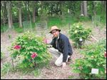 David Michener, associate curator at Matthaei Botannical Gardens and Nichols Arboretum, takes a closer look at some of the peonies in the garden.