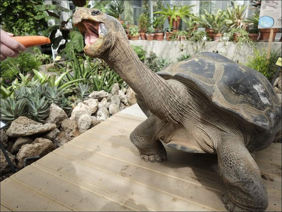 Herpetology keeper Hannah Gerritsen uses a carrot to lure Emerson, a Galapagos tortoise, from the Conservatory to his outdoor enclosure at the Toledo Zoo,  Tuesday, May 26,  2015.