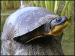 A male Blanding's turtle microchipped in 2007 has crawled 17 miles since then to the Maumee State Forest.