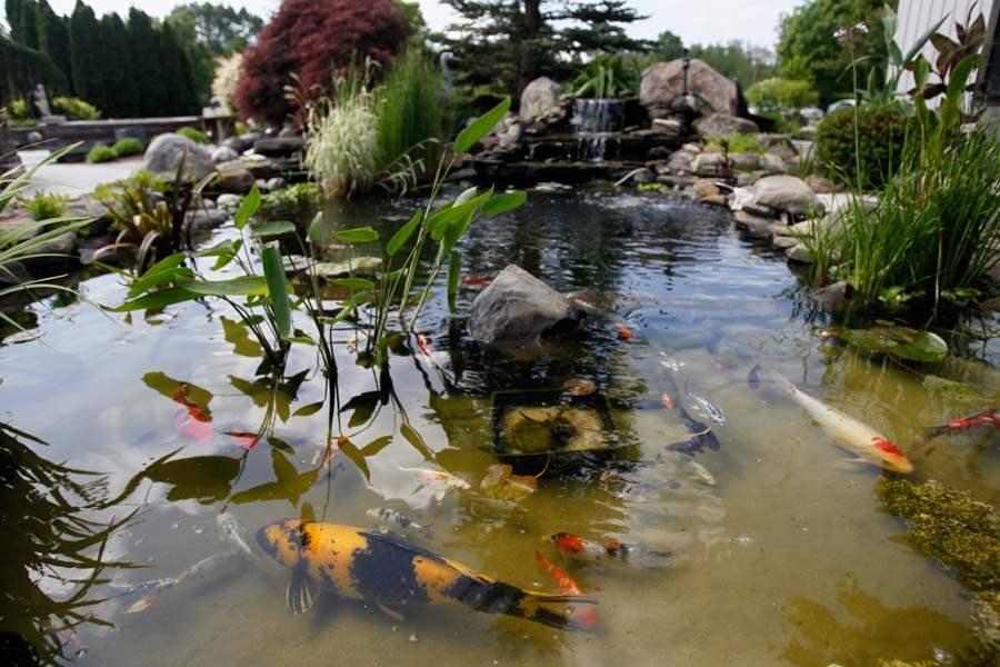 Gardening koi fish the blade for Koi pond videos