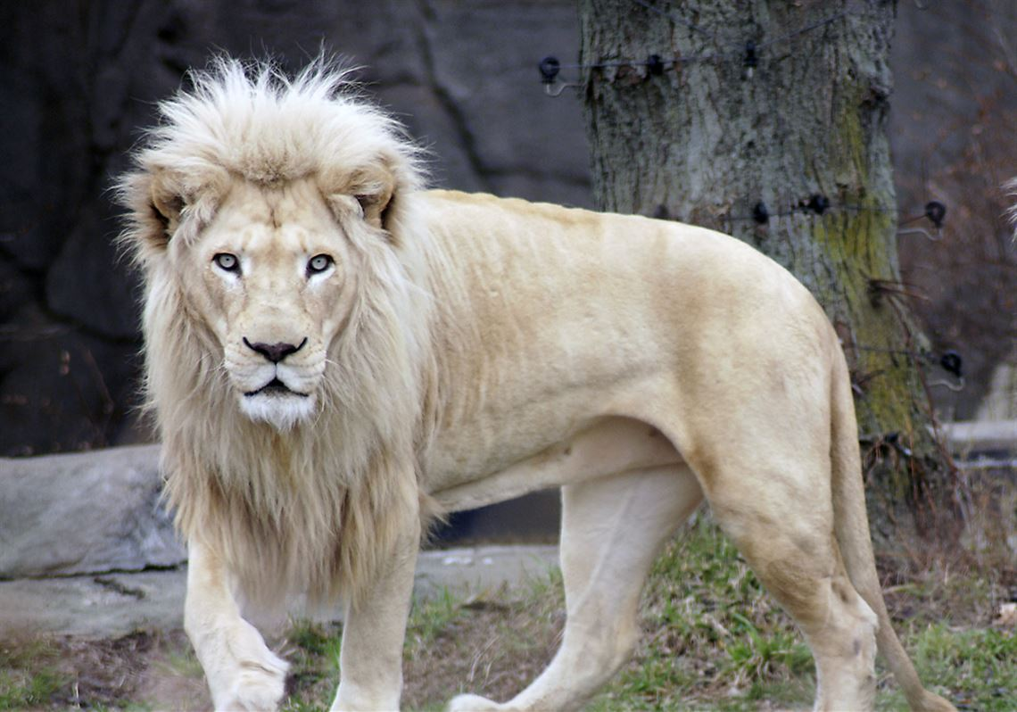 White lion, 14, on loan from Siegfried & Roy dies at Toledo Zoo