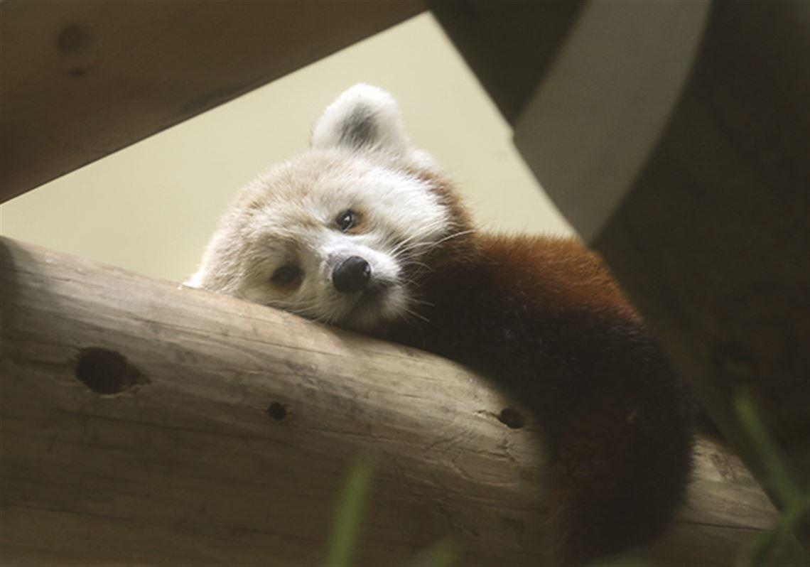 Toledo Zoo now home to 3 female red pandas | Toledo Blade