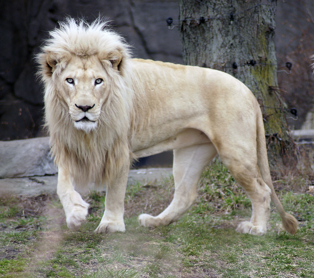 lion loaned to toledo zoo by siegfried roy dies the blade. Black Bedroom Furniture Sets. Home Design Ideas