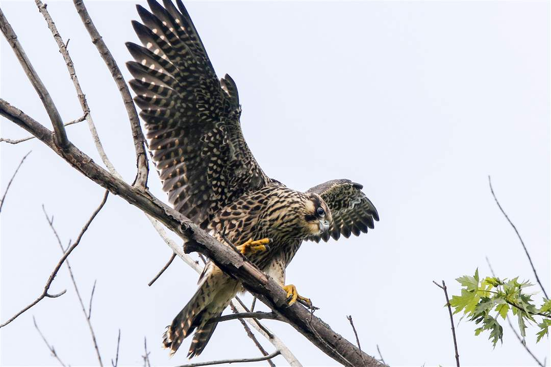 ROV-falconA-young-peregrine-falcon-finds-a