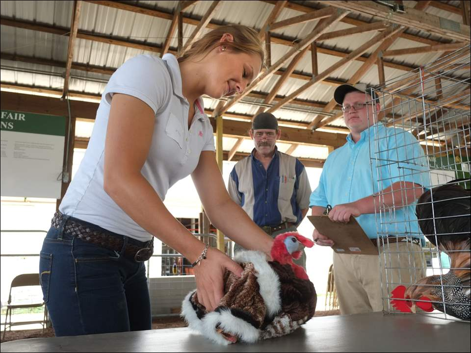 Jessie Holtzscher, 18, of Waterville, picks up a fake turkey in order to show Greg Wilson, head of the Lucas County Fair Poultry Department, and Judge Tyler Murray of Bellefontaine, Ohio, how to display a turkey for judging, during the Junior Fair Poultry Show at the Lucas County Fair on Tuesday in Maumee. Cages were empty and fake birds were being used for competition rather than live birds due to a ban on live poultry showings at state and county fairs because of the bird flu. The fair runs through Sunday.