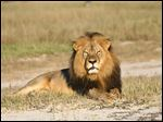 Cecil the lion rests in Hwange National Park, in Hwange, Zimbabwe. Two Zimbabweans arrested for illegally hunting a lion appeared in court Wednesday. The head of Zimbabwe's safari association said the killing was unethical and that it couldn'­t even be classified as a hunt, since the lion killed by an American dentist was lured into the kill zone.