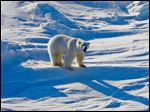 A polar bear is shown from Alaska's Beaufort Sea region. A study released in July concludes the ani
