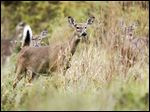 Officials are taking applications for archery permits for controlled hunts of whitetail deer in the Metroparks.