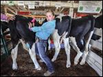 Above, Gretchen Germann of Bowling Green shoves Lenny, one of her three Holstein cows, so she can brush another one, named Squiggy, at the Wood County Fair. Gretchen, 11, said this is the first time she has taken part in a livestock competition.