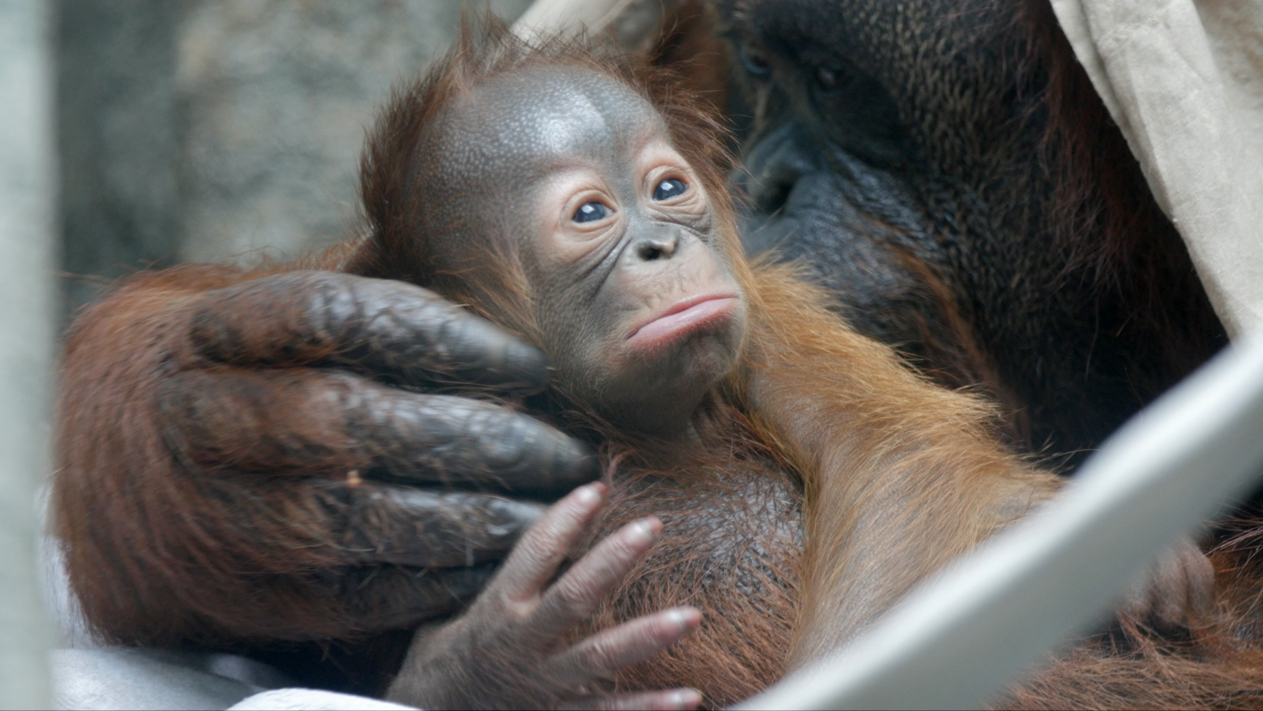 toledo zoo announces birth of baby orangutan the blade toledo zoo enlarge