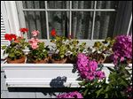 Potted geraniums replaced pansies in a window box.
